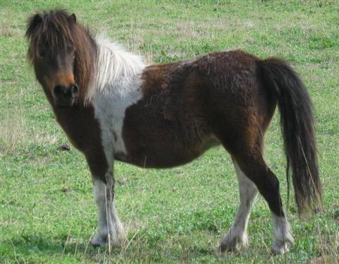 FS: PINTO BROODMARES Penny-sept2010-480px