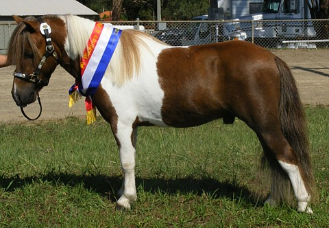 Wanted-Small APSB/AMPS Stallion [FOUND ONE] Prince%20-%20blacktown%20show%202010%20480px%20%283%29